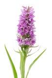Wildflower d'Orchis Image libre de droits