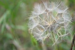 Wildflower da barba da cabra madura da cabeça da semente Fotografia de Stock Royalty Free