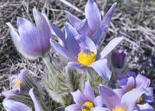 Wildflower da montanha Foto de Stock Royalty Free