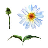 Wildflower daisy flower in a watercolor style isolated. Royalty Free Stock Images