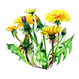 Wildflower dandelion flower in a watercolor style isolated. Aquarelle wild flower for background, texture, wrapper pattern, frame or border Royalty Free Stock Photo