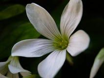 Wildflower das pétalas de Translucid foto de stock