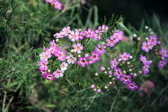 Wildflower de cire de Geraldton Images libres de droits