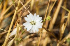 Wildflower de congesta de Hemizonia de Tarweed de Hayfield, la Californie photographie stock