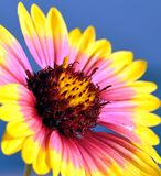 Wildflower de Firewheel Images libres de droits