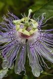 Wildflower 2 de fleur de passion de l'Alabama Image stock