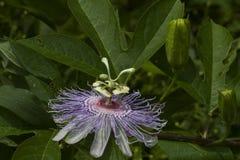 Wildflower 3 de fleur de passion de l'Alabama Photographie stock