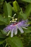 Wildflower 4 de fleur de passion de l'Alabama Photo libre de droits