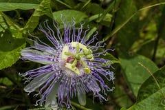 Wildflower 7 de fleur de passion de l'Alabama Images stock