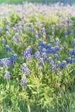 Wildflower de floresc?ncia do Bluebonnet na primavera perto de Dallas, Texas fotos de stock