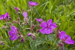 Wildflower de géranium collant Images libres de droits