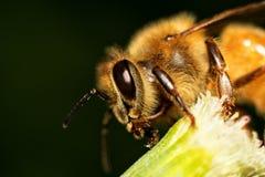 Wildflower de la abeja Fotografía de archivo libre de regalías
