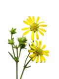Wildflower de la alcachofa de Jerusalén Fotos de archivo