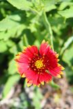 Wildflower de la Floride Photographie stock