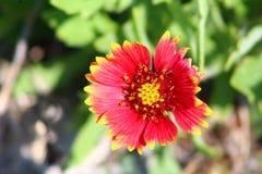 Wildflower de la Floride Images stock
