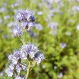 Wildflower de Lila en follaje verde Foto de archivo libre de regalías
