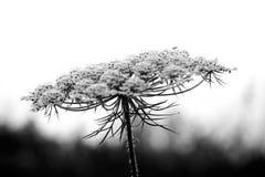 Wildflower de Missouri imagens de stock