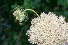 Wildflower de Missouri imagem de stock royalty free