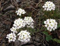 Wildflower de ressort Images stock