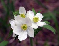 Wildflower de ressort Image stock