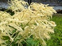 Wildflower: De sneeuw-in-zomer, Vlasblad paperbark, Cajeput-boom Smal-leaved Paperbark, smal-Leaved Honey Myrtle, Sneeuwstormmel stock afbeelding