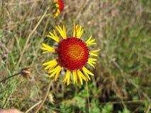 Wildflower de suavis de Daisy Gaillardia de pelote à épingles photographie stock libre de droits
