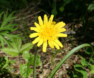 Wildflower de Sun Photographie stock