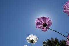 Wildflower de Violett de encontro ao céu azul Imagens de Stock Royalty Free