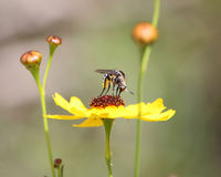 Wildflower del Coreopsis de Pollenating de la mosca de abeja Imagen de archivo