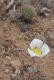 Wildflower del deserto dell'Utah immagine stock libera da diritti