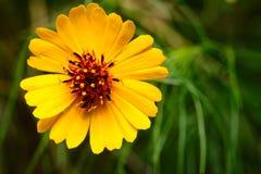 Wildflower del linifolia del Coreopsis, a veces llamado Texas Tickweed Fotografía de archivo