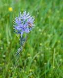 Wildflower del quamash di Camassia con l'ape Fotografia Stock