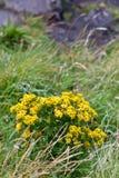 Wildflower del senecione Fotografia Stock Libera da Diritti