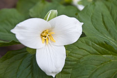 Wildflower del trillium della sorgente Fotografia Stock