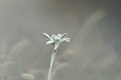Wildflower dell'edelweiss più dal fondo del fuoco Immagine Stock