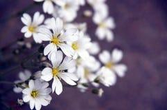 Wildflower dell'Topo-orecchio della prateria Immagini Stock