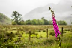 Wildflower della digitale nelle montagne inglesi Fotografia Stock Libera da Diritti