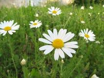 Wildflower della margherita sul prato verde Immagini Stock Libere da Diritti