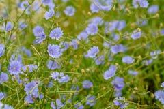 Wildflower della salvia blu - azurea di Salvia Immagini Stock Libere da Diritti