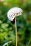 Wildflower della sorgente Immagini Stock