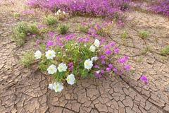 Wildflower on desert floor royalty free stock photo
