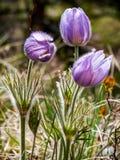 Wildflower do açafrão da pradaria Fotografia de Stock Royalty Free