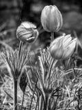 Wildflower do açafrão da pradaria Fotos de Stock Royalty Free