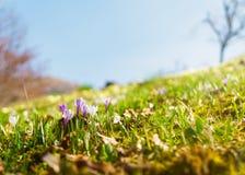 Wildflower do açafrão na luz solar morna Fotos de Stock