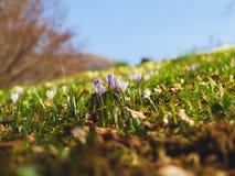 Wildflower do açafrão na luz solar morna da mola Foto de Stock