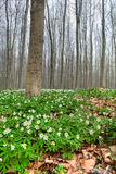 Wildflower do branco da floresta da mola do anemone de madeira imagens de stock royalty free