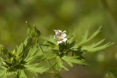 Wildflower do carolinianum de Carolina Cranesbill Geranium fotografia de stock royalty free