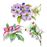 Wildflower dogwood flower in a watercolor style isolated. Stock Image