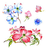 Wildflower dogwood flower in a watercolor style isolated. Stock Images