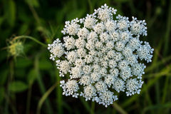 Wildflower du Missouri photographie stock libre de droits